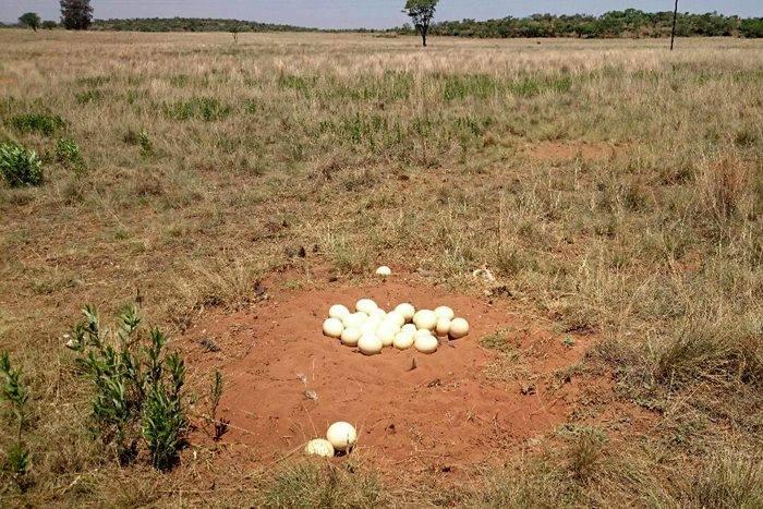 الأدحية - الموضع التي تبسط فيه النعامة بيضها