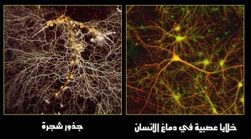 مقطع في خلايا عصبية لدماغ الإنسان، وبجانبه صورة لجذور شجرة، انظروا التشابه الكبير بينهما من حيث التفرعات وتشابك الفروع، وكلاهما يصدر إشارات كهربائية، فالدماغ يصدر إشارات كهربائية لأعضاء الجسد فيعطي أوامره، وكذلك الجذر يصدر إشارات كهربائية على شكل أوامر تنتقل بين أجزاء الشجرة، إن هذا التشابه يشهد على أن الصانع واحد: (صُنْعَ اللَّهِ الَّذِي أَتْقَنَ كُلَّ شَيْءٍ إِنَّهُ خَبِيرٌ بِمَا تَفْعَلُونَ) [النمل: 88].